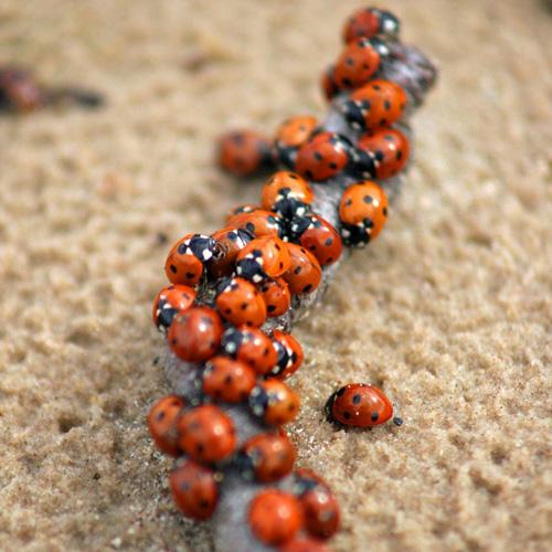 Жук-сонечко Coccinella septempunctata