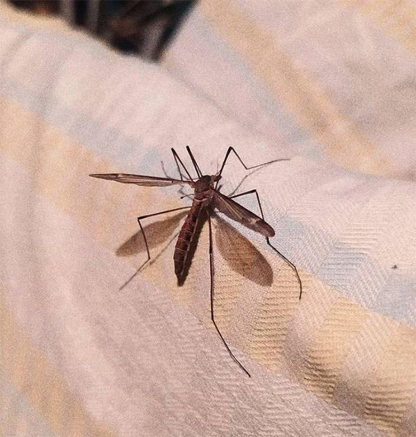 Комары на Азовском море 2021: ситуация в Кирилловке, на Арабатской стрелке, в Бердянске и в других курортах